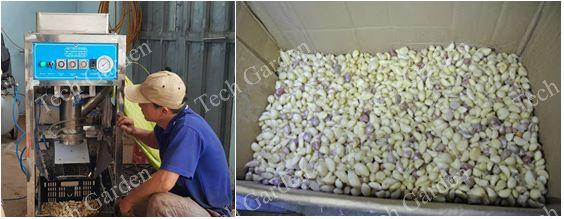 Hinh ảnh:Tách vỏ tỏi Đá Hà Nội,tách đạt 80-90%